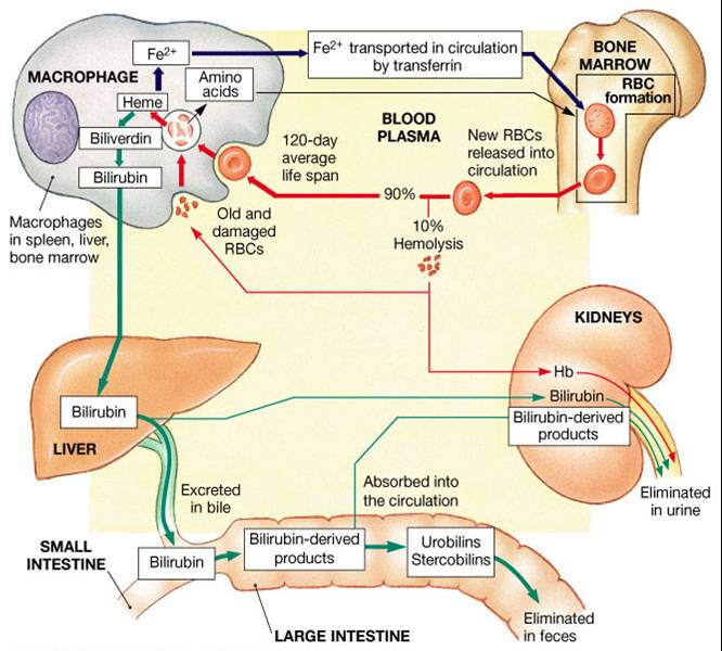 bilirubin formation and excretion