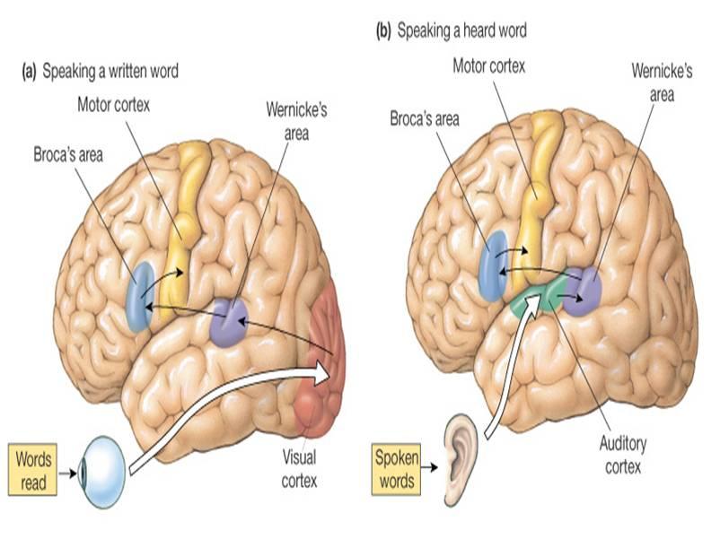 towards a functional neuroanatomy of speech perception pdf