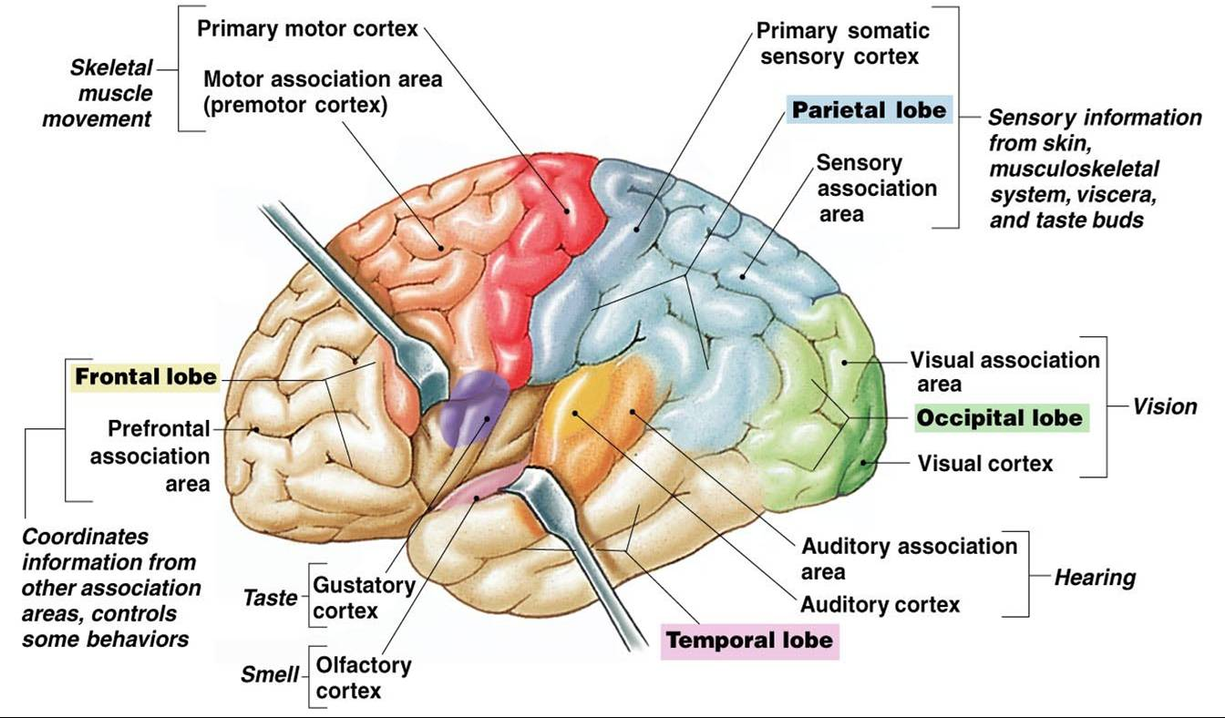 Associate Degree Nursing Physiology Review |Cerebral Cortex Structure