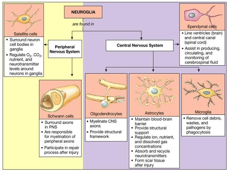 brain biology encyclopedia cells body function - 797×599