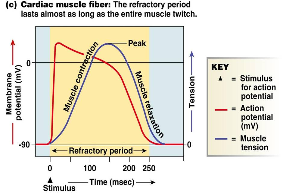 Qa Absolute Vs Refractory Period Of Cardiac Muscle Cells