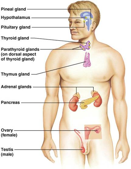 Ch 11-The Endocrine System