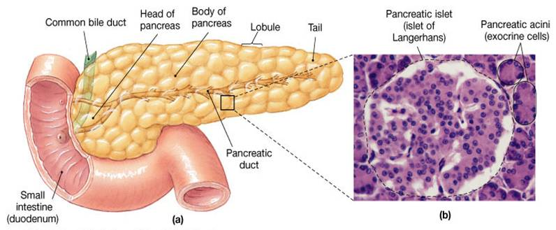 Exploring Martin the Warrior moreover Histologydrawings blogspot together with  further Index further Endo1. on pancreas gland diagram