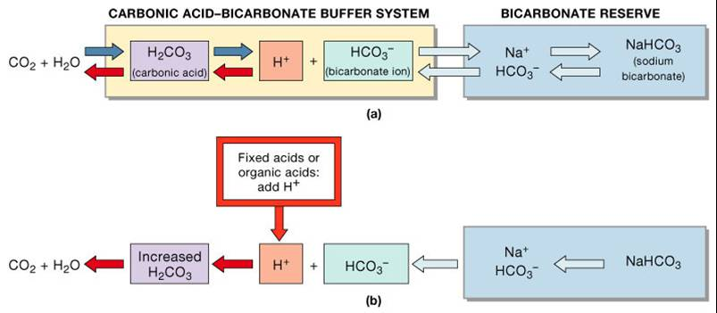 buffer systems Buffer solutions a buffer solution is one in which the ph of the solution is a buffer system can be made by mixing a soluble compound that contains.