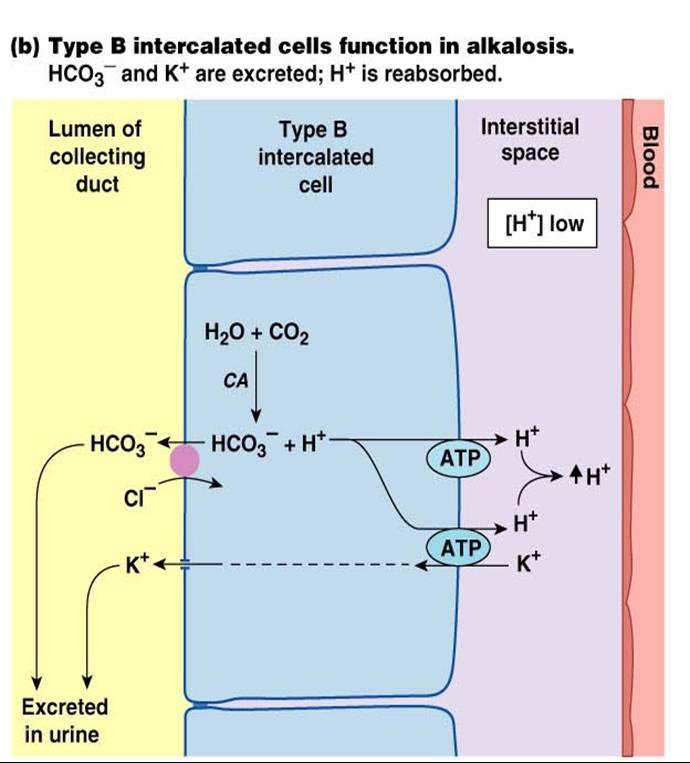 sodium bicarb and potassium relationship