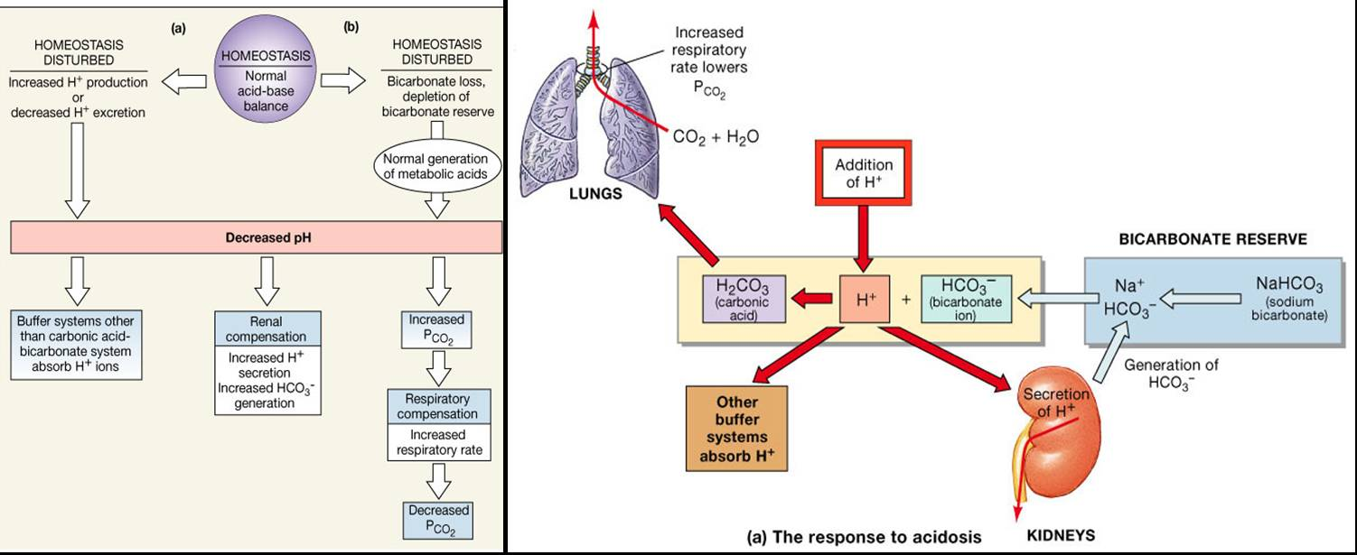 pathophysiology of acid base balance Acid-base balance is an intricate concept which requires an intimate and detailed knowledge of in vomiting causes the ph to rise in a metabolic alkalosis state.