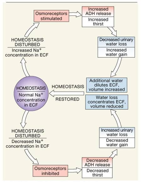 Electrolyte Fluid Balance. Sodium Balance Regulation Of Aldosterone. Wiring. Aldosterone Hormone Feedback Loop Homeostasis Diagram For At Scoala.co
