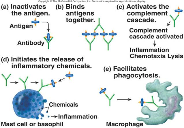 activation of b cells to produce antibodies