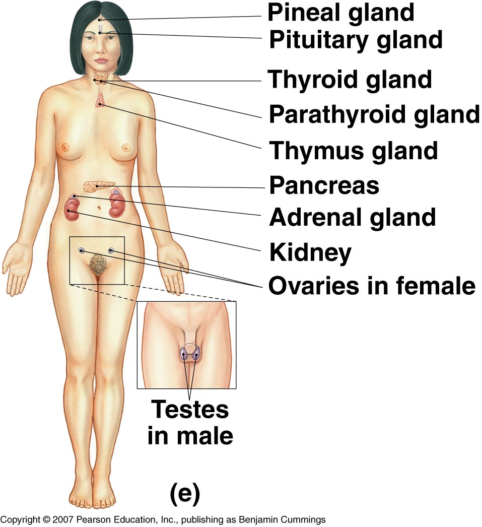 Endocrine System Pineal Gland