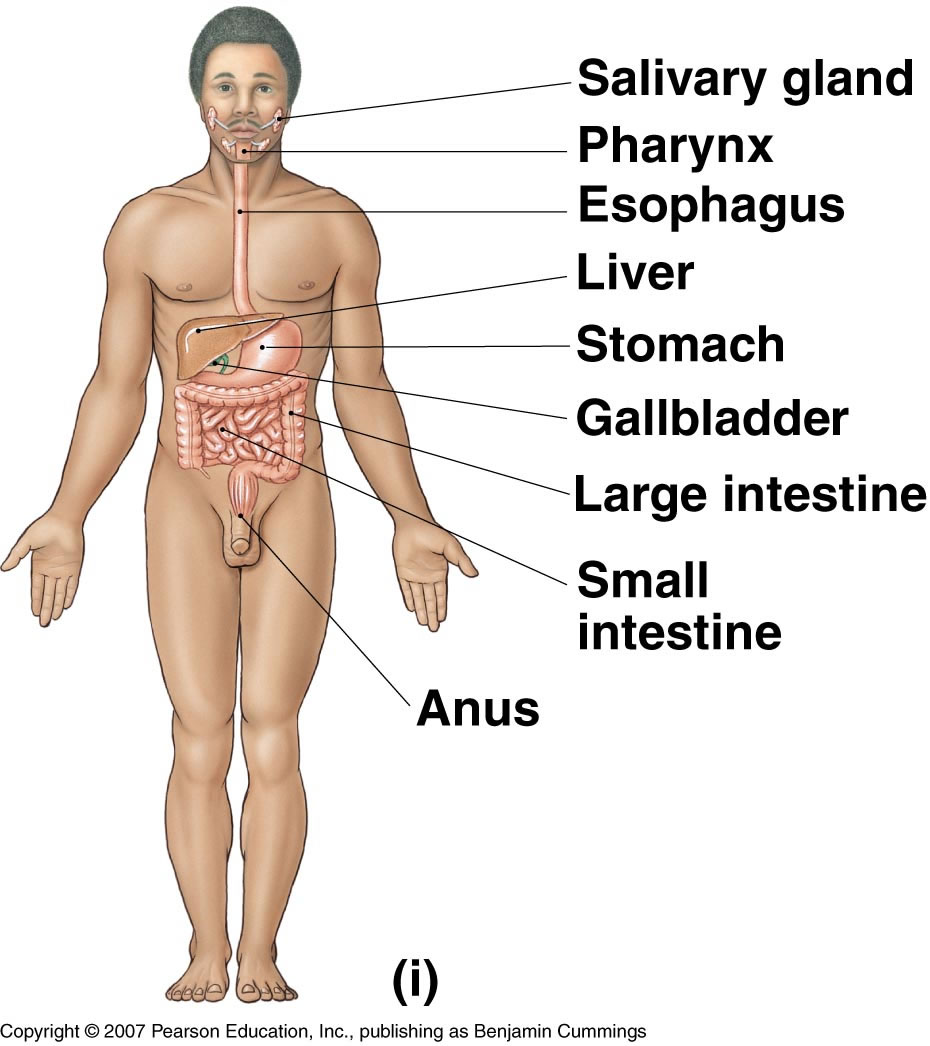 Associate degree nursing physiology review digestive system ccuart Image collections