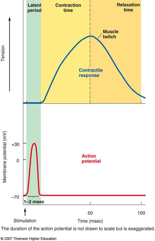 what occurs during the latent period of these isometric contractions