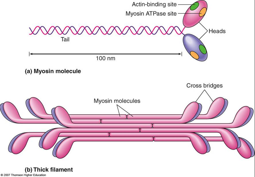 write a 250 word essay about muscle contraction calcium
