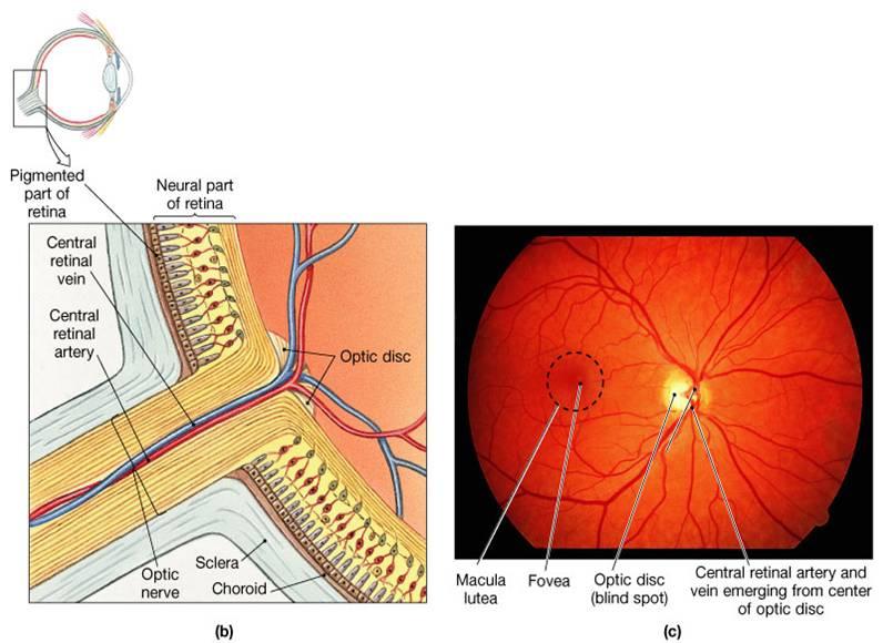 Anatomy of optic nerve
