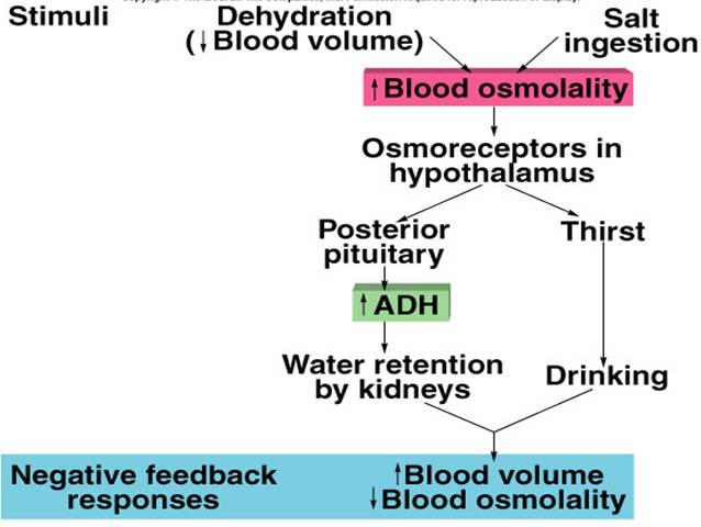 the usage of water in osmotic regulation of cell volume Cells regulate their internal volume in response to osmotic stress by water loss, thereby restoring cell volume cell volume regulation.