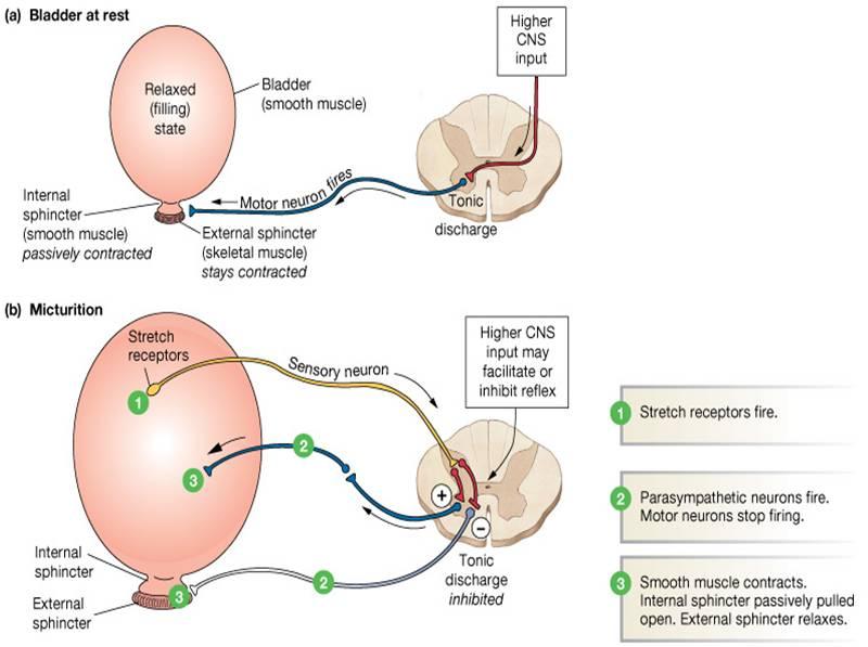 Viagra Relaxes Sphincter