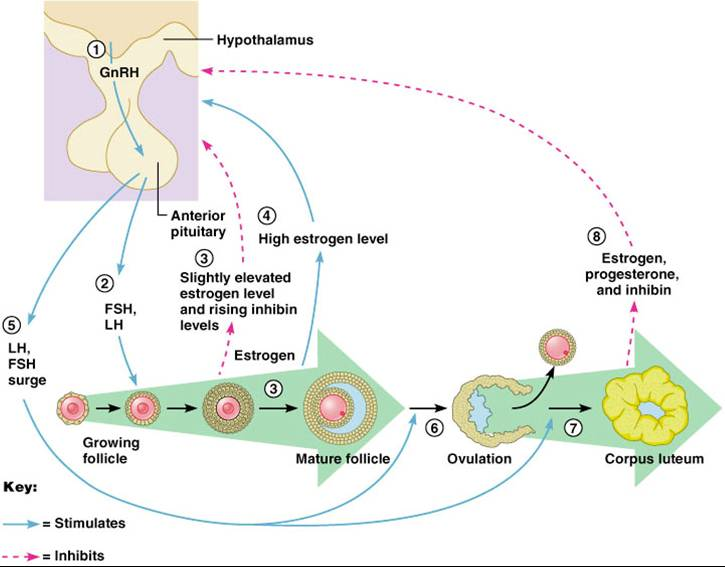 a description of the endometrium in the ovarian cycle Mucous membrane known as the endometrium the lining changes in  thickness during the menstrual cycle, being thickest during the period of egg  release.