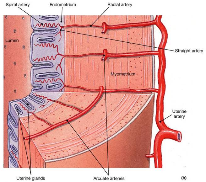 Diagram Of Uterus Layers Great Installation Of Wiring Diagram