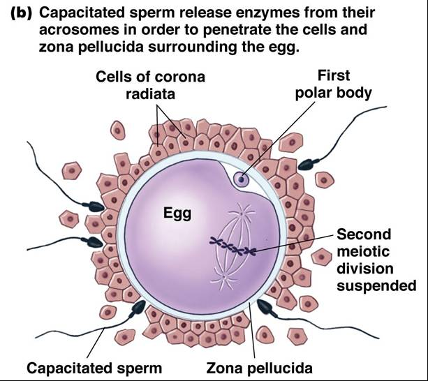 Parts of the sperm cell easier tell