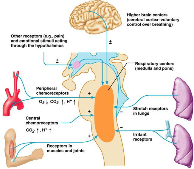 how does homeostasis control breathing rate