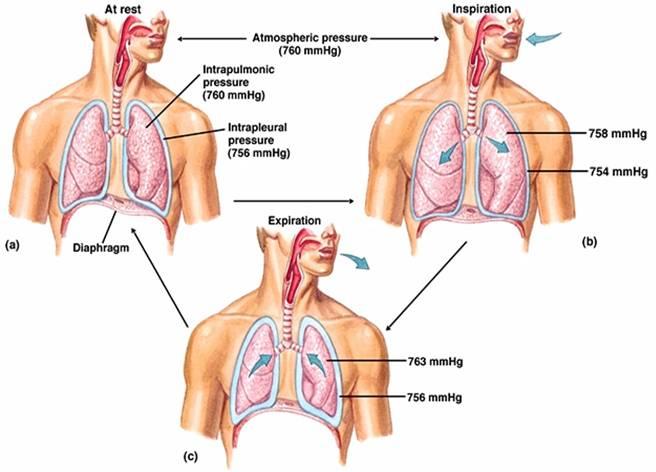 Associate Degree Nursing Physiology Review