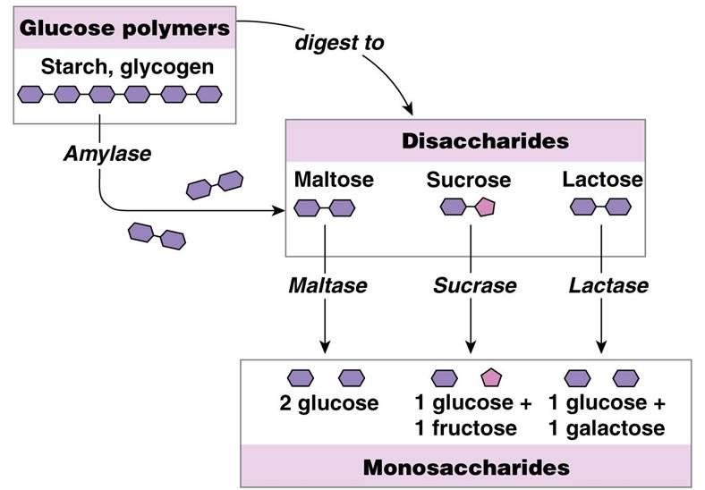 humanphysiology / Mouth, salivary glands