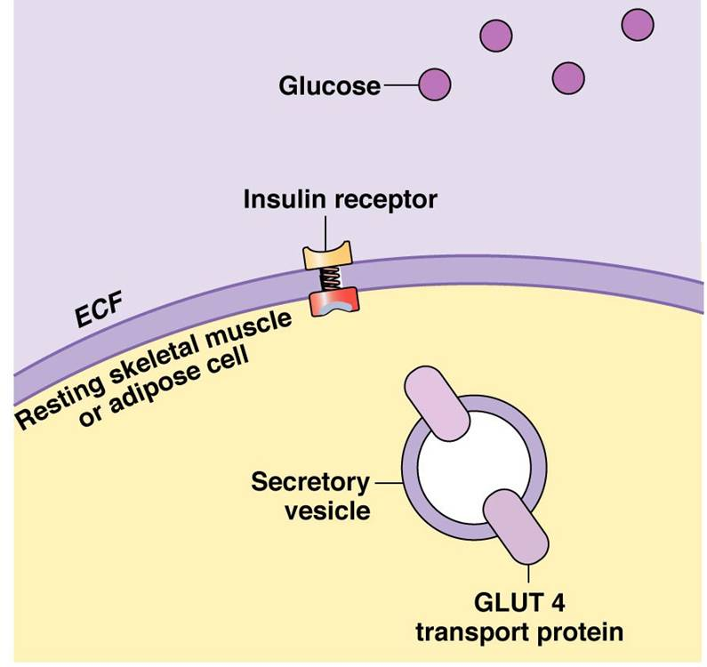insulin signals a cell to take in glucose