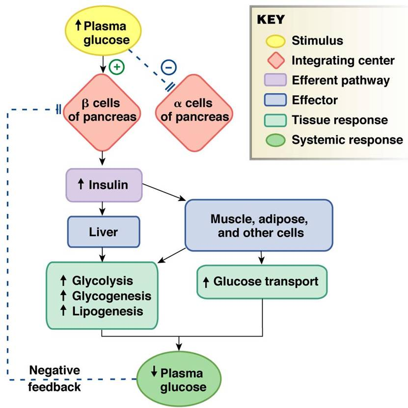 explain hormonal regulation of blood glucose level Explain hormonal regulation of blood glucose level advance technology in blood glucose monitoring  this will use very low current to measure glucose level from.