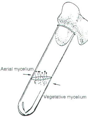 yeast fungi diagram
