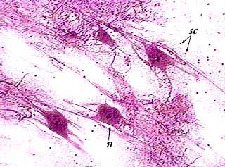 nervous tissue wikipedia