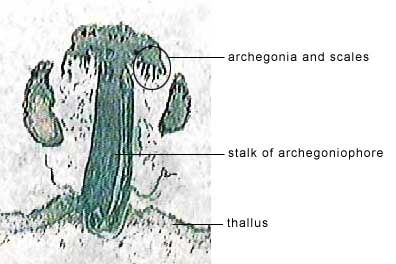 marchantia antheridia labeled