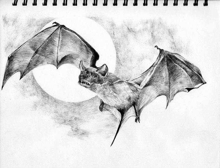Pin bat freetail drawing pdf bluegill bobcat 72dpi on for How to draw a small bat